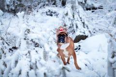 Porträt des Hundes im Rotwildkostüm gegen Hintergrund von Weihnachtsbäumen Stockfotografie
