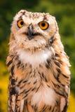 Porträt des Inders Eagle Owl Lizenzfreie Stockbilder