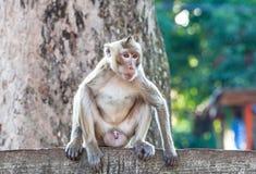 Porträt des jungen Affen ist unaufmerksam sitzend und am concr Stockfotografie