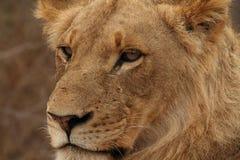 Porträt des jungen Löwes stehend in Nationalpark Kruger lizenzfreies stockbild