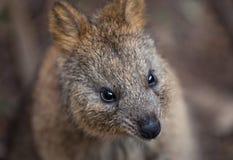 Porträt des jungen netten australischen Känguruwallabys selektiver Fokus auf der Nase stockfotografie