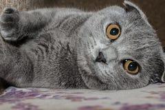 Porträt des jungen Scottish falten Katze, graue Farbe Stockfotografie