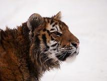 Porträt des jungen sibirischen Tigers - der Pantheratigris-altaica Lizenzfreie Stockfotografie