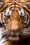Porträt des jungen Tigers Lizenzfreies Stockfoto