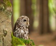Porträt des jungen Waldkauzes in den foters - Strix aluco stockfotografie