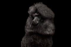 Porträt des königlichen Pudel-Hundes lokalisiert auf schwarzem Hintergrund lizenzfreies stockfoto