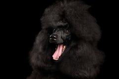 Porträt des königlichen Pudel-Hundes lokalisiert auf schwarzem Hintergrund stockfotografie