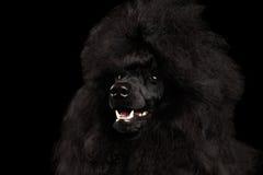 Porträt des königlichen Pudel-Hundes lokalisiert auf schwarzem Hintergrund stockbild
