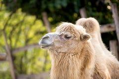 Porträt des Kamels Stockfoto