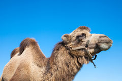 Porträt des Kamels Stockbild