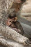 Porträt des kleinen Baby Macaqueaffen, der an den Müttern Brust-einzieht, bewaffnen in wildem Kleines Baby mit Muttermakaken Lizenzfreie Stockfotos