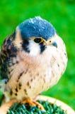 Porträt des kleinen Falken gegen grünen Hintergrund Stockfotos