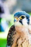 Porträt des kleinen Falken gegen grünen Hintergrund Lizenzfreies Stockbild