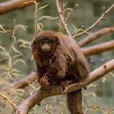 Porträt des kleinen lustigen haarigen Affen auf dem Baum Lizenzfreies Stockfoto