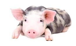 Porträt des kleinen Schweins Stockbild