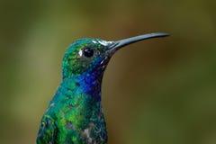 Porträt des Kolibris Weiß-band Sabrewing von Tobago-Insel an Stockfotografie