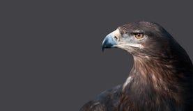 Porträt des Kopfes eines Adlers auf einem Hintergrund Stockfotografie