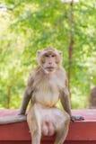 Porträt des Krabbe-Essenmakakens im Nationalpark, thailändischer Affe Stockbilder