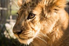 Porträt des Löwejungen Stockfoto