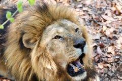 Porträt des Löwes mit dem offenen Mund, der große Zähne schiebt Stockbilder