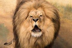 Porträt des Löwes mit nackten Reißzähnen und der rauhaarigen Mähne stockfotos