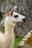 Porträt des Lamas stehend bei Machu Picchu, Peru Stockbild