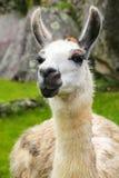 Porträt des Lamas stehend bei Machu Picchu, Peru Lizenzfreies Stockfoto