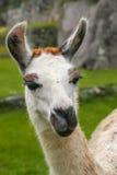 Porträt des Lamas stehend bei Machu Picchu, Peru Stockbilder