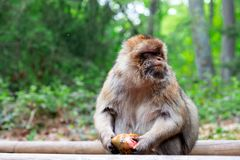 Porträt des lustigen Affen essend im tropischen Wald Lizenzfreie Stockbilder