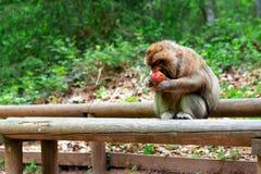 Porträt des lustigen Affen essend im tropischen Wald Stockfoto
