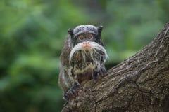 Porträt des lustigen bärtigen Kaiser Tamarinaffen von Brasilien Jun Stockfotos