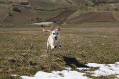 Porträt des lustigen Babyhundes, der auf den Blumen läuft Lizenzfreies Stockfoto