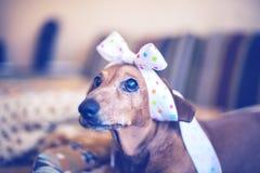 Porträt des lustigen Hundes das mit der Hoffnung, welche die Kamera betrachtet Lizenzfreie Stockbilder