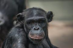 Porträt des lustigen und emotionalen Schimpansen Abschluss oben Stockfotografie