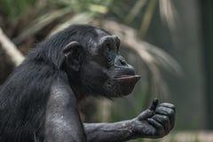 Porträt des lustigen und emotionalen Schimpansen Abschluss oben Lizenzfreies Stockbild