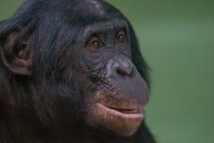 Porträt des lustigen und lächelnden Bonobo, Abschluss oben Stockfoto