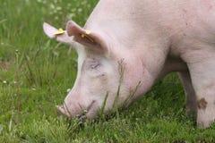 Porträt des mächtigen Sauschweins an der Farm der Tiere Stockfoto