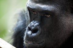 Porträt des männlichen Gorillas Stockfotos