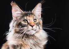Porträt des Maine-Waschbär-Kätzchens stockbilder