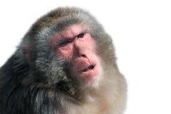 Porträt des Makakens lokalisiert auf Weiß Stockbilder