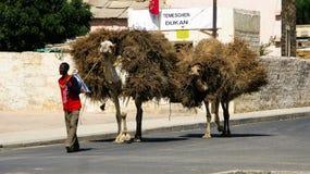 Porträt des Mannes mit dem Kamel, das Heu und Brennholz, Keren, Eritrea transportiert Stockfotografie