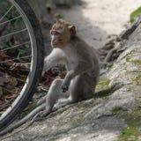Porträt des netten Babyaffen, der mit Fahrradfelge spielt Lizenzfreies Stockbild