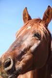 Porträt des netten braunen Pferds Stockfotos