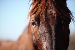 Porträt des netten braunen Pferds Stockfoto