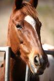 Porträt des netten braunen Pferds Lizenzfreie Stockfotos