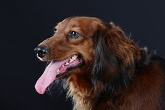 Porträt des netten Dachshunds lokalisiert auf Schwarzem Lizenzfreies Stockbild