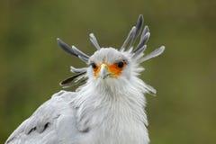 Porträt des netten grauen Raubvogels Sekretär Bird Sagittarius serpentarius, mit orange Gesicht Stockfotos