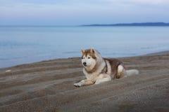 Porträt des netten Hundes des sibirischen Huskys, der auf Seefront bei Sonnenuntergang liegt lizenzfreie stockbilder
