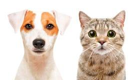 Porträt des netten jungen Hundes Jack Russell Terrier und Katze des schottischen geraden lizenzfreie stockbilder