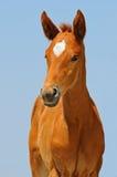 Porträt des netten Kastanienfohlens Stockbild